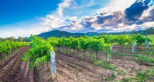 Pokolbin estate wines - Hunter Valley Activities - Beltana Villas